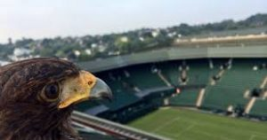 Rufus the Wimbledon eagle